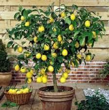 Limon Tohumu