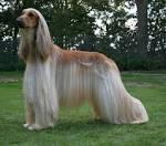 Images & Illustrations of Afghan hound