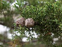 """Résultat de recherche d'images pour """"wikipédia Cyprès images"""""""
