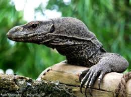 Résultats de recherche d'images pour «lizards sold as pets»