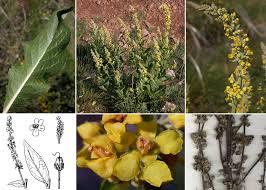 Verbascum lychnitis L. - Sistema informativo sulla flora vascolare dei ...