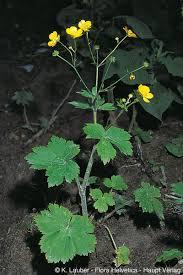 Ranunculus lanuginosus L.