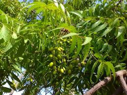 the neem tree a miracle plant ezgro garden neem berries