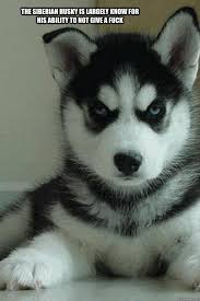 The Siberian husky is largely know for his ability to not give a ... via Relatably.com