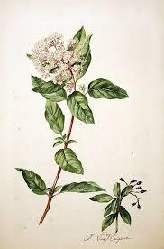 Viburnum tinus - Wikipedia