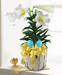 easter lily plant welcome spring pugh s flowers local florist easter lily plant welcome spring pugh s flowers local florist memphis tn