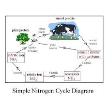easy diagram of nitrogen cycle shows conversions in the simple    an easy diagram of the nitrogen cycle illustrating the     simple nitrogen cycle