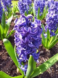 Hyacinth (plant) - Wikipedia
