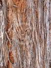 eucalyptusd eugenioides