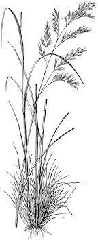 Festuca Heterophylla | ClipArt ETC