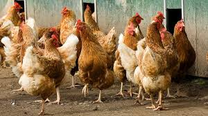 Image result for chicken images