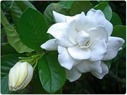 Image result for rosal flower