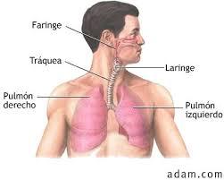 Resultado de imagen para sistema respiratorio  la acupuntura
