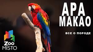 <b>Ара</b> Макао - Все о виде <b>попугаев</b>   <b>Попугай</b> вида - <b>Ара</b> Макао