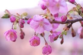 「河津桜」の画像検索結果