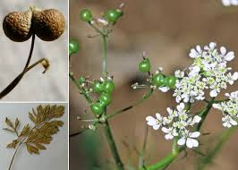 Bifora testiculata (L.) Spreng. - Sistema informativo sulla flora ...
