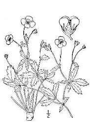 Plants Profile for Potentilla anglica (English cinquefoil)