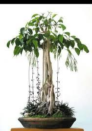 <b>Bonsai</b> | Растения, Фикус, <b>Бонсай</b>