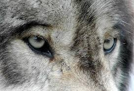 What <b>Ernest Thompson Seton's</b> Wolf Trapping Teaches Us | Brave ...