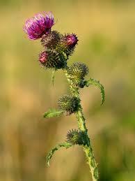 Carduus crispus - Wikipedia