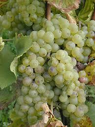 Белое <b>вино</b> — Википедия