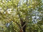 california sycamore