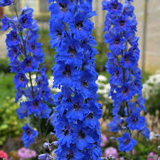 Delphinium elatum 'Million Dollar Blue' | Walters Gardens, Inc.