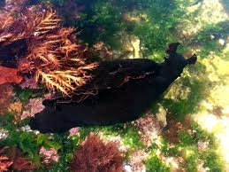 Image result for giant black sea hare
