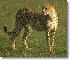 معلومات عن اسرع الحيوانات Images?q=tbn:ANd9GcRQLyNMAgZ1DUjId1okMamWSYxdnq-8gaTXrkm2K-7YCHVHQ80d