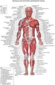 muscle  worksheets and free math worksheets on pinterestmuscles chart  helpful to let me see which muscles are hurting when i workout  amp