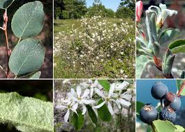 Amelanchier ovalis Medik. subsp. ovalis - Sistema informativo sulla ...
