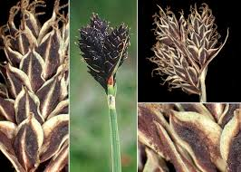 Carex parviflora Host - Sistema informativo sulla flora delle Alpi ...