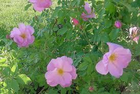 Resultado de imagen para planta rosa de mosqueta