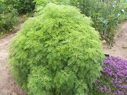 Artemisia abrotanum   North Carolina Extension Gardener Plant ...