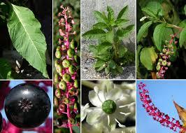 Phytolacca americana L. - Sistema informativo sulla flora del parco ...