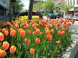 Image result for tulip festival free image