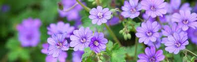 Buy Perennial and Biennial Plants For <b>Spring</b> & <b>Summer</b> Planting ...