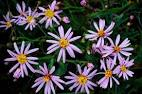 Images & Illustrations of sea aster