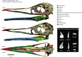 Complete Ichthyornis <b>skull</b> illuminates mosaic assembly of the avian ...