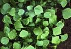 cuban spinach