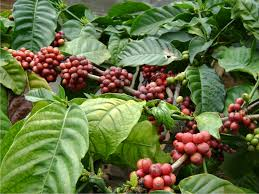 coffee plantation in java