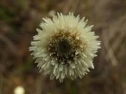 Eriocaulaceae