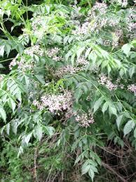 Meliaceae | plant family | Britannica.com