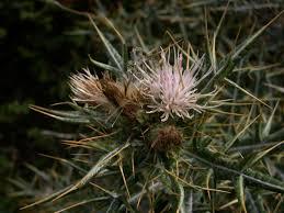 IUCN Top 50 - Lamyropsis microcephala