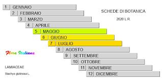Stachys glutinosa [Betonica fetida] - Flora Italiana