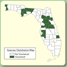 Tradescantia fluminensis - Species Page - ISB: Atlas of Florida Plants