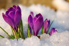 Image result for spring with snow images
