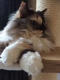 pictures of ragdoll cats their paws crossed ragdoll cat cartouche seal tortie sepia mitted paws crossed