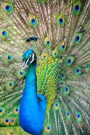 900+ <b>Peacock</b> Images: Download HD Pictures & Photos on Unsplash