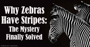 Image result for zebra camouflage word